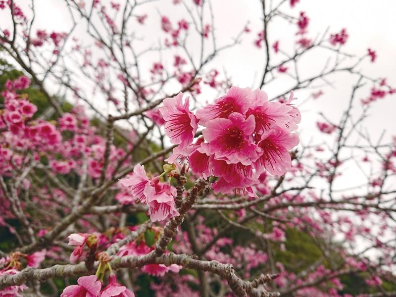 【2019】沖繩賞櫻攻略,嚴選6處|那霸櫻花祭2019
