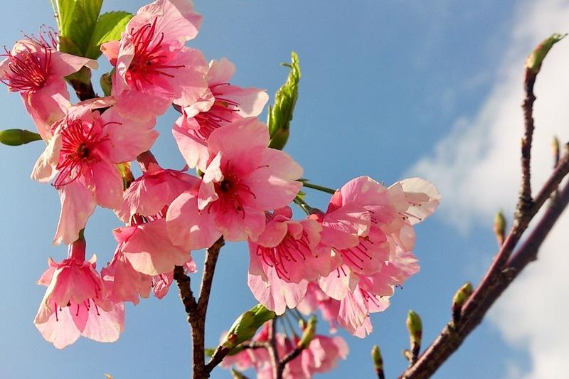 【2019】沖繩賞櫻攻略,嚴選6處|那霸美麗櫻花祭