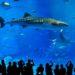 【沖繩美之海水族館】可以避開人潮又可以用優惠價格入場參觀的好方法